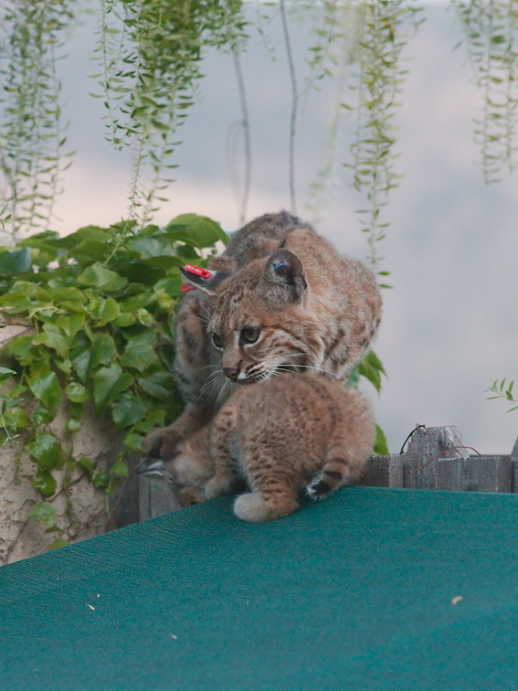 bobcat-and-her-three-kits-in-back-garden-Moorpark-2015-05-09-IMG 0683