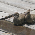 dove-pair-resting-on-deck-2008-07-16-img_0269.jpg