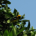 hooded-oriole-male-in-orange-tree-2008-07-02-IMG_0012.jpg