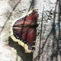 butterfly-mahogany-white-edge-Nymphalis-antiopa-mourning-cloak-butterfly-garden-2009-01-18-IMG 1695