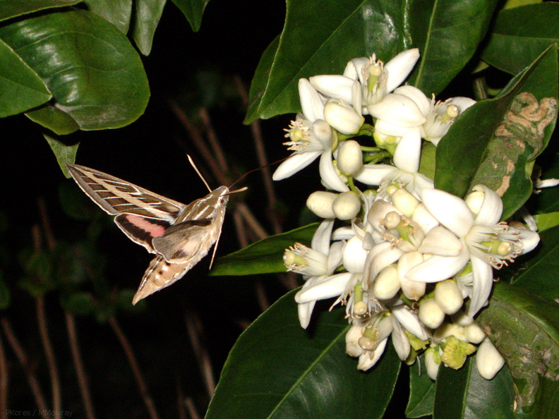 sphingid-moths-visiting-orange-tree-flowers-2009-02-28-IMG 2518