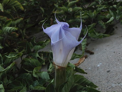 jimsonweed-flower-unfurling-bluish-2008-10-08-IMG 1423