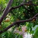our-grapefruit-tree-Moorpark-2017-03-22-IMG 7686