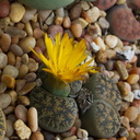 Lithops-sp-yellow-flowered-2009-12-15-IMG 3575