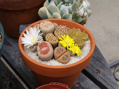 Lithops-stone-plants-flowering-2009-08-09-IMG 3351