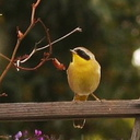 yellowthroat-1