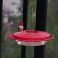 Allens-male-hummingbird-at-garden-feeder-Moorpark-2018-03-13-IMG 8731