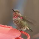 Annas-hummingbird-male-juv-closeup