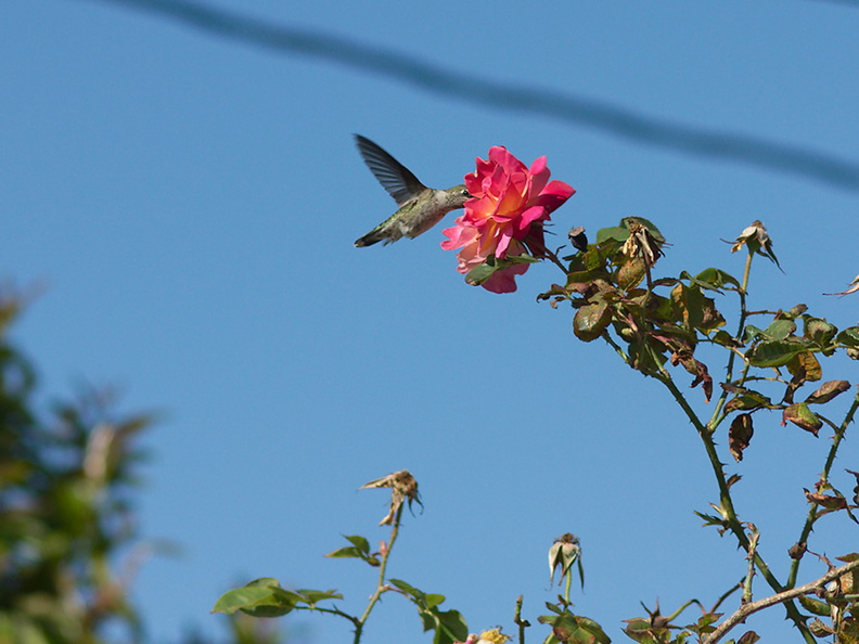Annas-hummingbird-visiting-peace-rose-in-garden-2012-04-27-IMG 4712