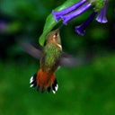 allens-hummingbird-late may2006-6-sm