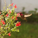 hummingbird-anna s-male-at-sage-6