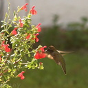 hummingbird-anna s-male-at-sage-8