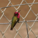 hummingbird-anna s-male-preening-fence-4
