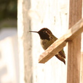 hummingbird-annas-male-resting-after-sage-1
