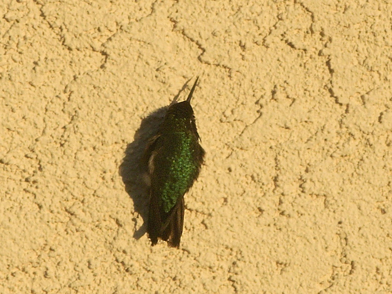 hummingbird-basking-on-house-wall-2011-01-22-IMG_6932.jpg