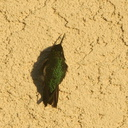 hummingbird-basking-on-house-wall-2011-01-22-IMG 6932