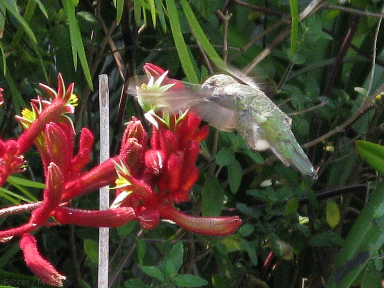 hummingbird-on-kangaroo-paw-2008-07-03-IMG 0017