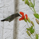 hummingbird-on-mimulus-cardinalis-2008-07-06-IMG 0042