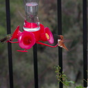 rufous-male-hummingbird-at-garden-feeder-Moorpark-2018-03-13-IMG 8722