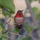 rufous-male-hummingbird-in-grapefruit-tree-2014-03-27-IMG 9985