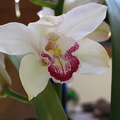 Cymbidium-white-red-outlined-lip-2009-02-26-IMG 1799