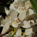 Cymbidium-Sarah-Jean-rose-on-ice--creamy-white-SBOE-2014-03-17-IMG 3380