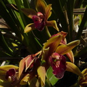 Cymbidium-bronze-and-burgundy-SBOE-2014-03-17-IMG 3387