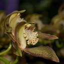 Cymbidium-tracyanum-bronze-and-red-stripes-2012-11-03-IMG 6782