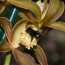Cymbidium-tracyanum-bronze-and-red-stripes-2012-11-03-IMG 6786