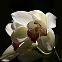 cymbidium-red-spotted-labellum-07-11