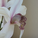 Cymbidium-Pearl-Blakis-Cooksbridge-white-pink-lip-2012-04-28-IMG 1628