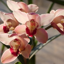 Cymbidium-flowering-pink-and-cream-2015-03-08-IMG 0403
