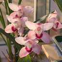 Cymbidium-flowering-pink-and-cream-2015-03-08-IMG 4472