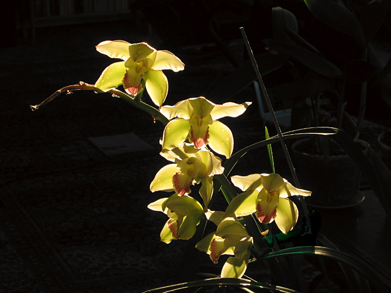 Cymbidium-large-early-greenish-2009-02-02-IMG_1739.jpg