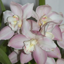 Cymbidium-pink-and-cream-Via-Roma-Jane-2012-06-10-IMG 5333