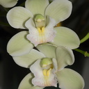 Cymbidium-small-white-and-greenish-Sleeping-Angel-2012-06-10-IMG 5339