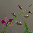 Dendrobium-inflorescence-in-bud-and-flower-2010-01-25-IMG 3658