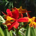 Epidendrum-burtonii-orange-red-2012-08-30-IMG 2735