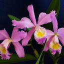 cattleya-mrs-henry-flowers-2008-11-17-IMG 1577
