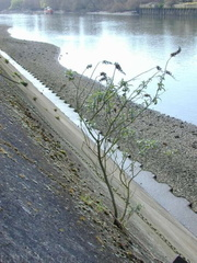 Buddleia on Thames London