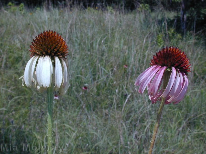 Echinacea-neglecta-forms-white-pink.jpg
