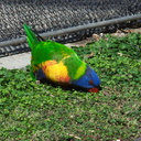 Edwards-rainbow-lorikeet-LA Aquarium-2011-11-05-IMG 0018