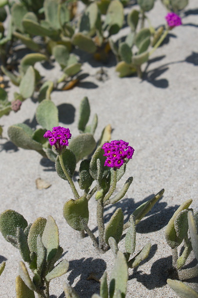 Abronia-maritima-red-sand-verbena-Ormond-Beach-Port-Hueneme-2012-05-09-IMG_4739.jpg