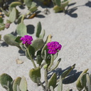 Abronia-maritima-red-sand-verbena-Ormond-Beach-Port-Hueneme-2012-05-09-IMG 4739