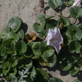Calystegia-soldanella-beach-morning-glory-Ormond-Beach-Port-Hueneme-2012-05-09-IMG 4750