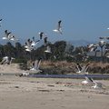 gulls-flying-Ormond-Beach-2012-03-21-IMG 1455