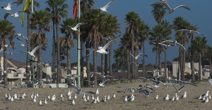 gulls-taking-off-Port-Hueneme-beach-2012-12-08-IMG 2917