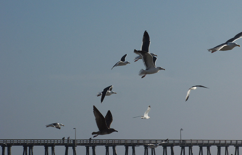 gulls-taking-off-Port-Hueneme-beach-2012-12-08-IMG_2923.jpg