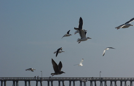 gulls-taking-off-Port-Hueneme-beach-2012-12-08-IMG 2923