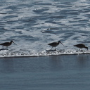 marbled-godwits-Ormond-Beach-Port-Hueneme-2012-09-18-IMG 2789